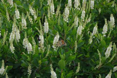 Small Native Shrubs for the Garden