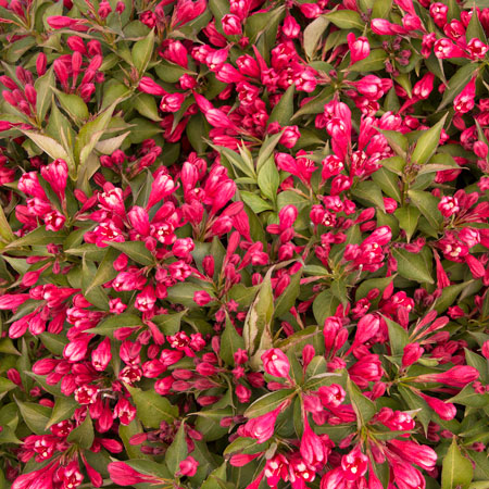 Crimson Kisses Weigela